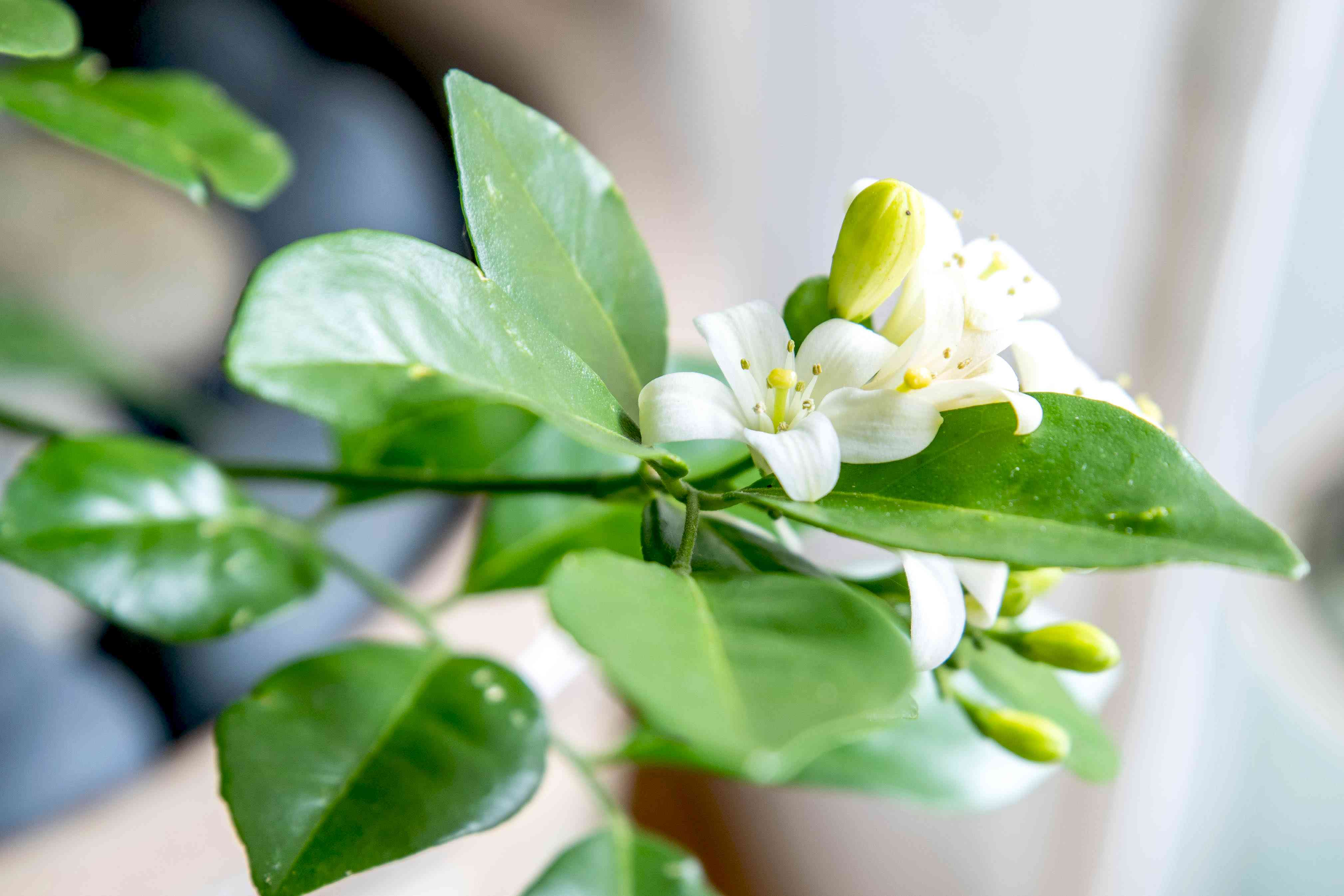 Orange jasmine plant branch with small white flowers and buds surrounded by leaves closeup