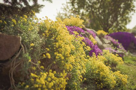 Yellow alyssum perennial flowers mightylinksfo