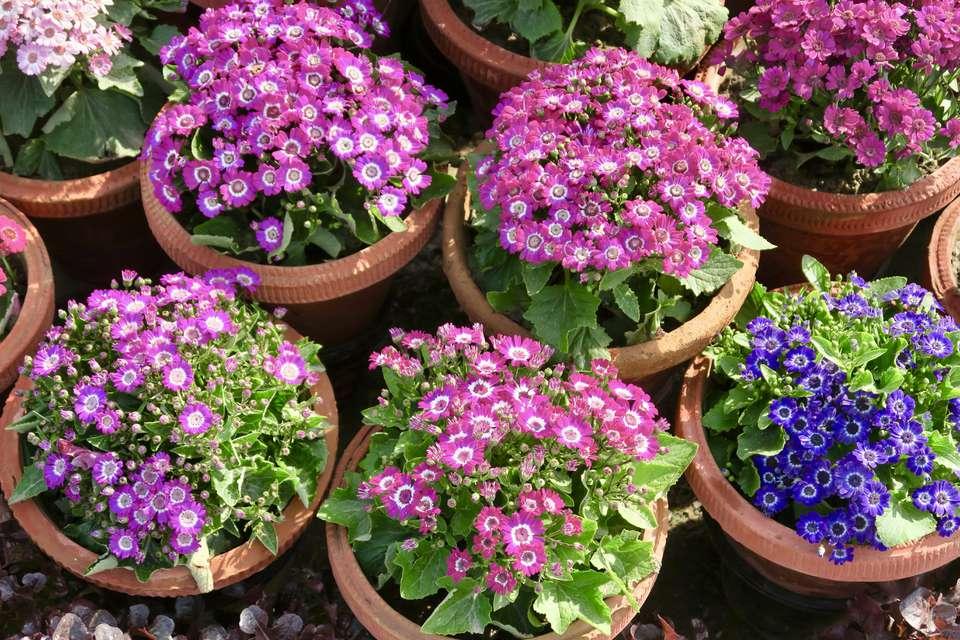 Imagen de flores cineraria rosa y púrpura / plantas de margaritas, margaritas cinerarias florecientes en macetas de terracota de plástico para jardín
