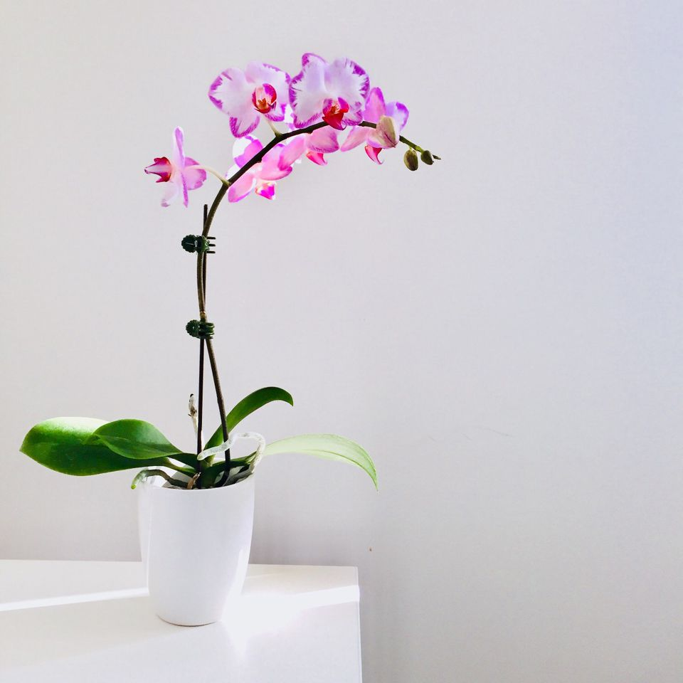 Blooming orchid in a white pot