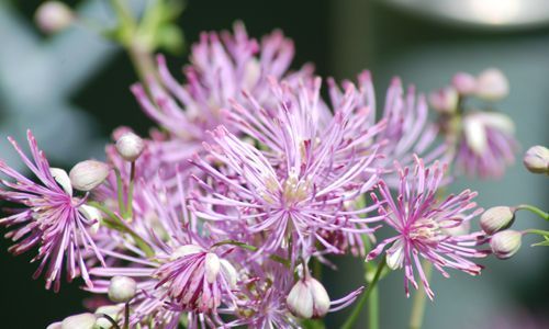 Meadow rue picture .