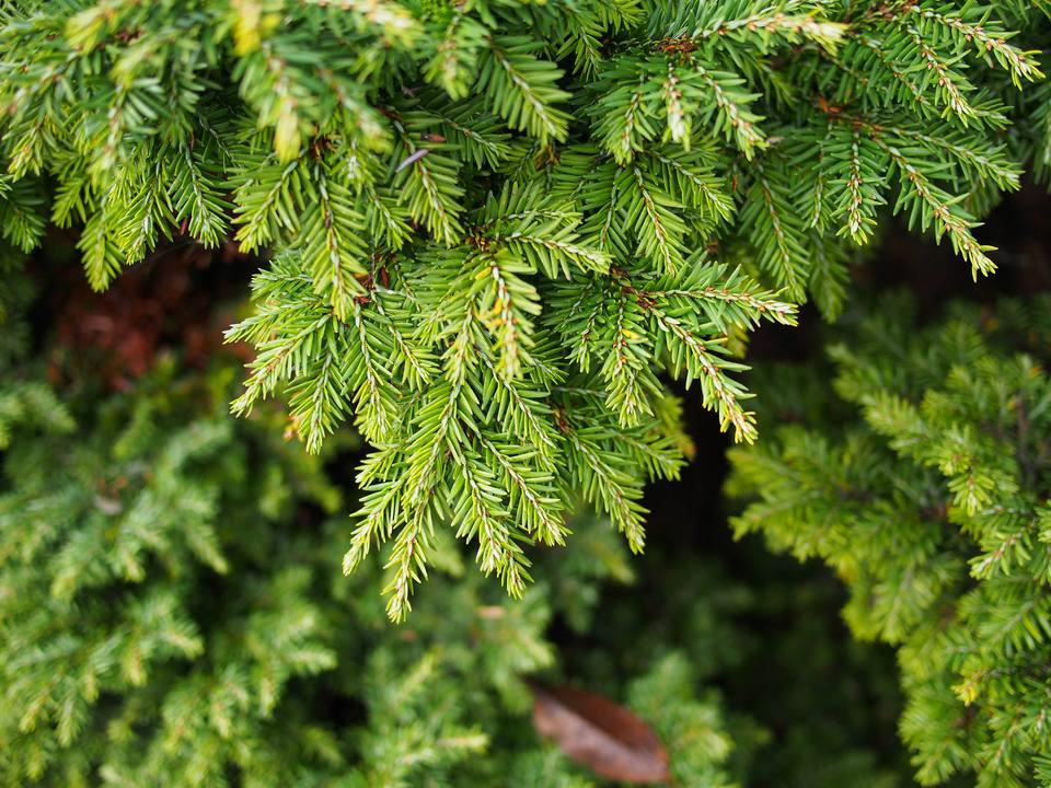 Canadian Hemlock Trees (Tsuga canadensis)
