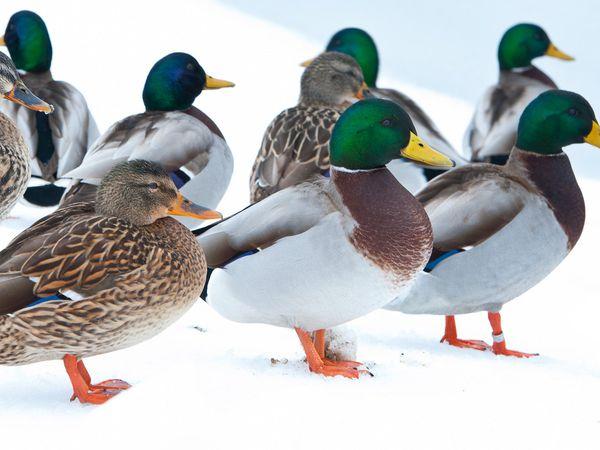 Mallards in Winter