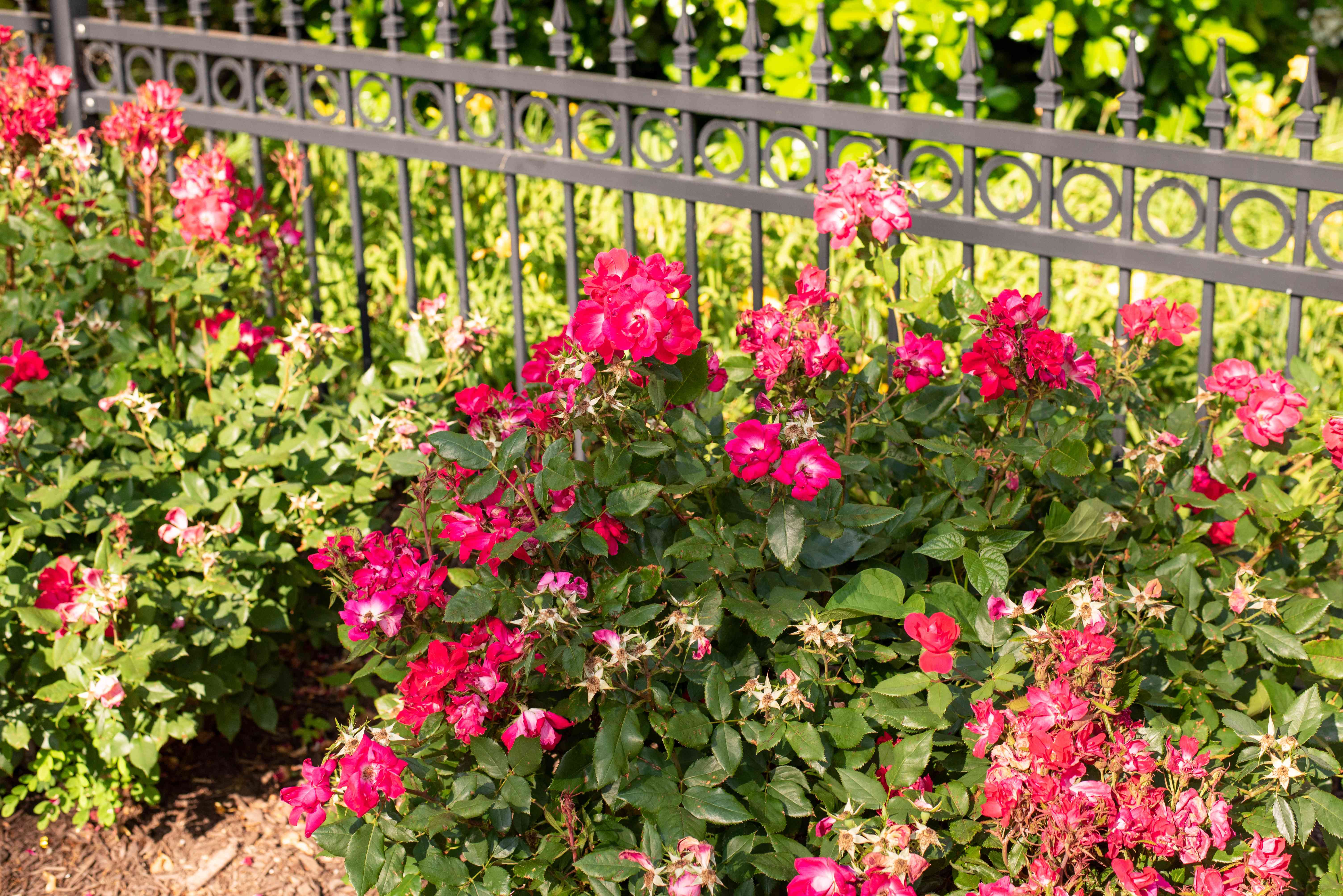 Candy oh rose bushes with bright pink flowers and deadheads near metal fence
