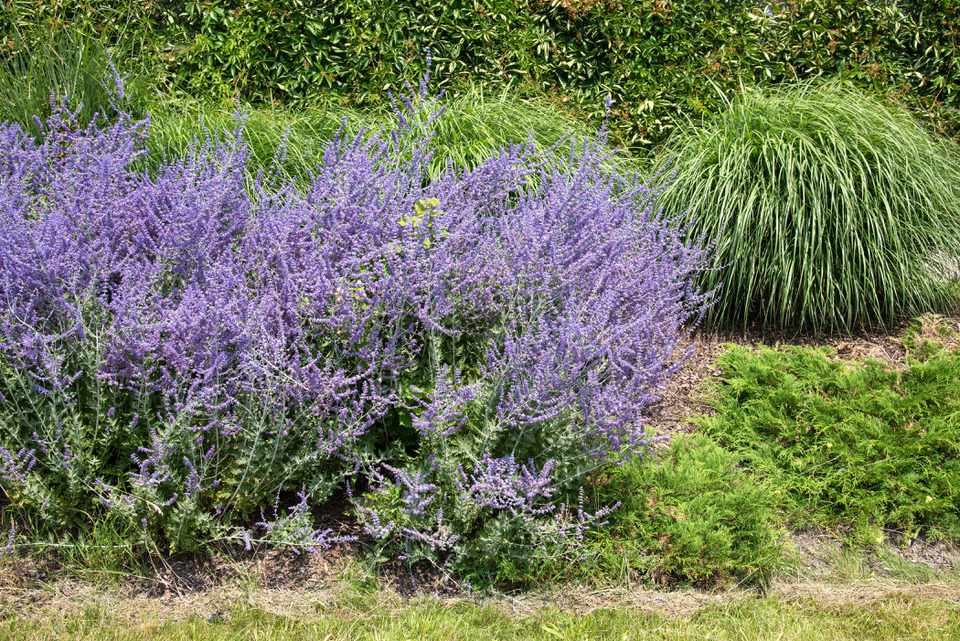 Russian sage herb bushes with lavender flowers on tall stems in sunlight