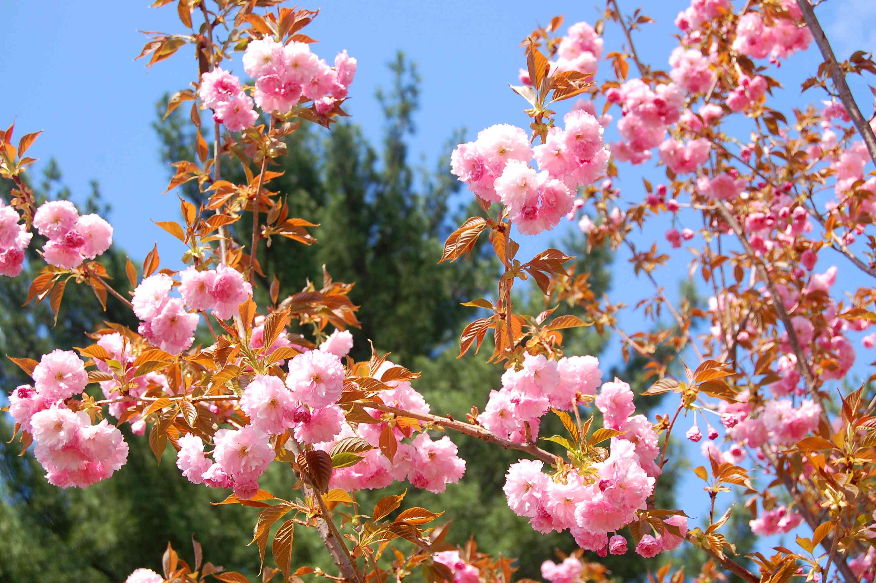 Kwanzan cherry (image) bears double pink blooms in mid-spring. It's an impressive specimen.