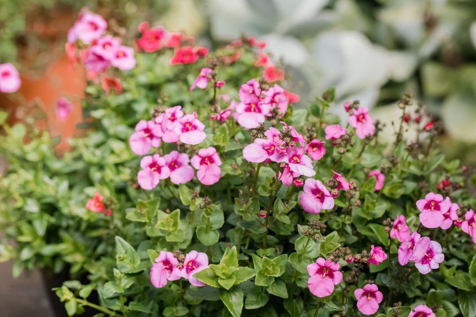 Diascia flowers