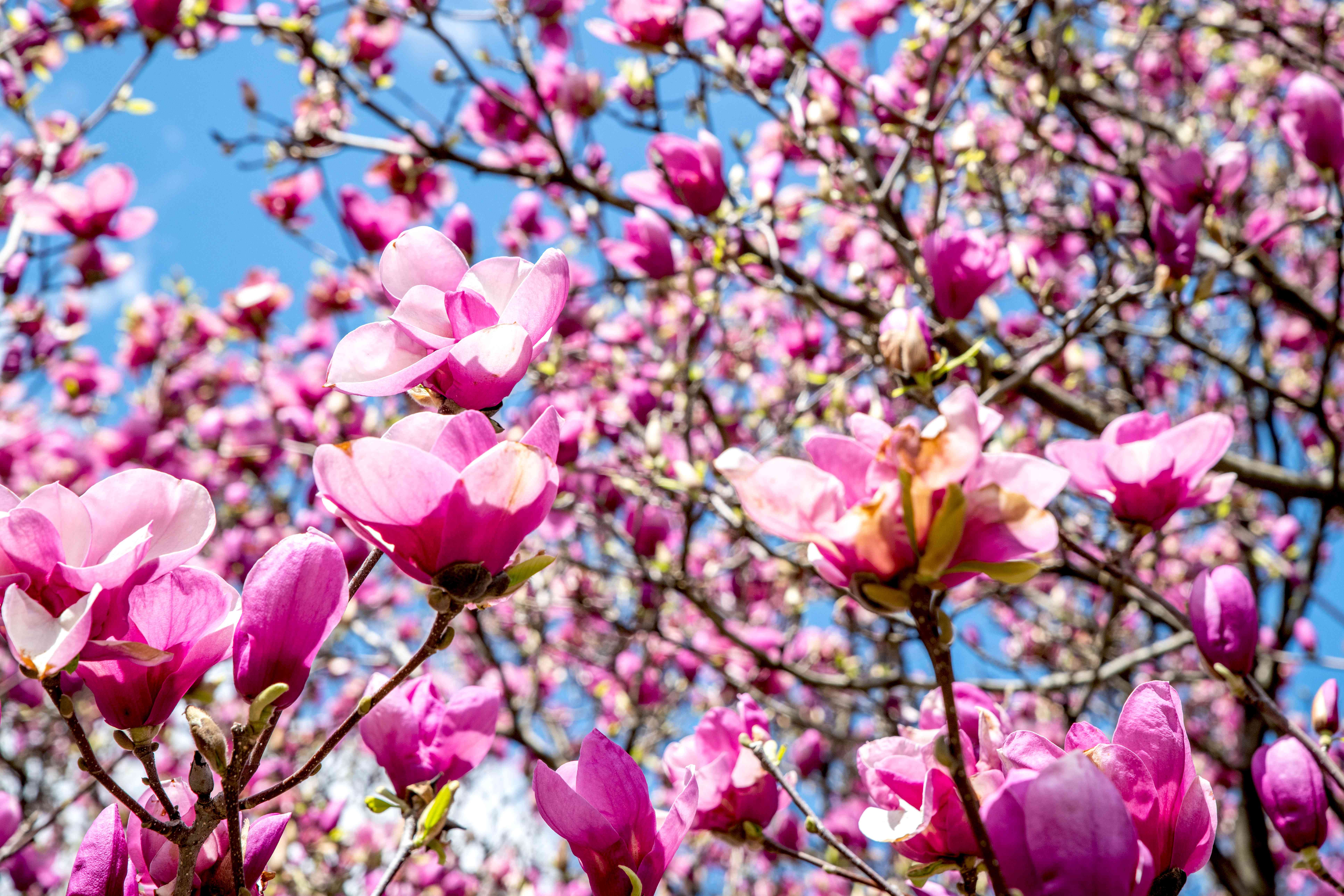 Magnolia 'Jane' shrub bare branches with large pink and white flowers against blue sky