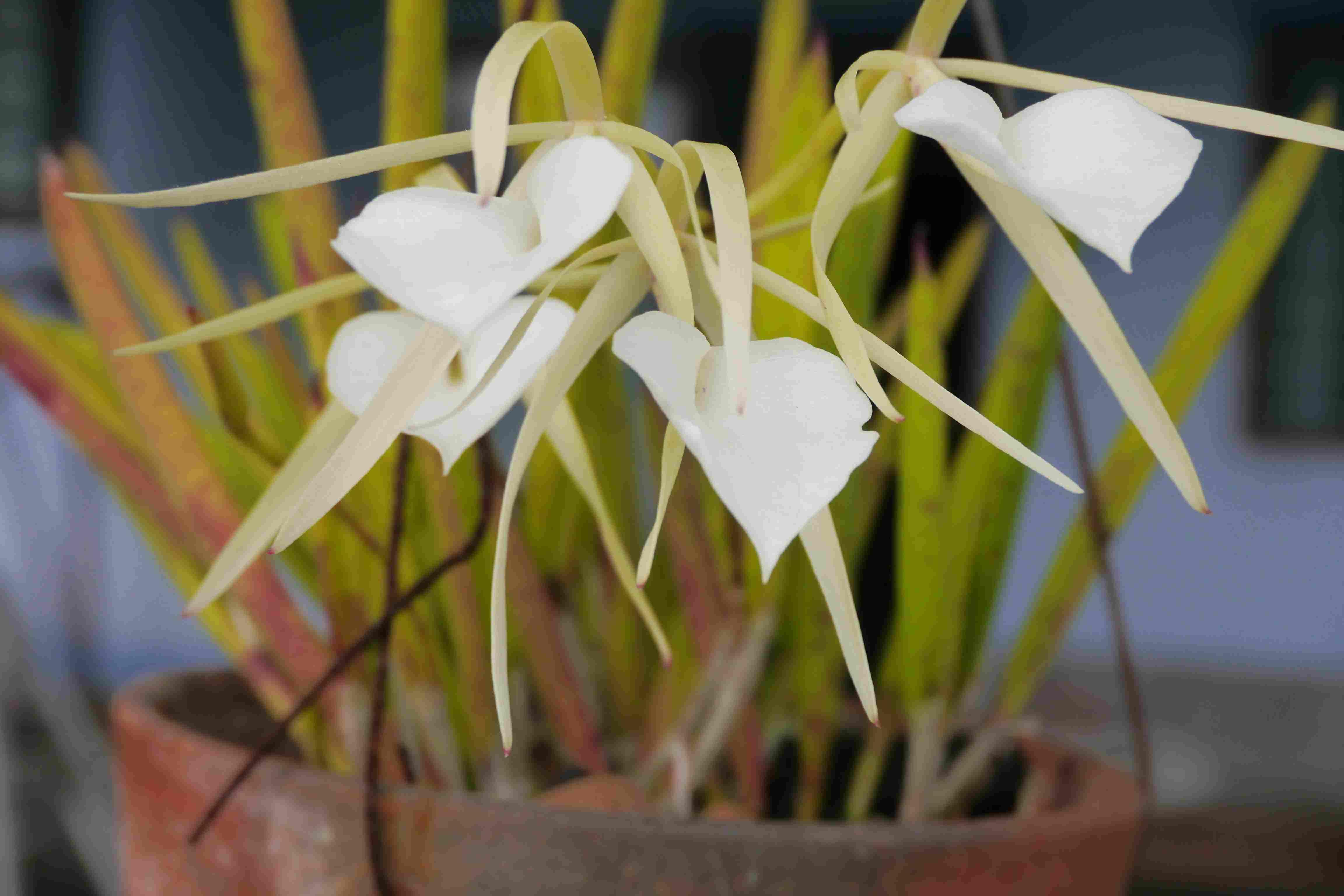 Brassavola Orchid