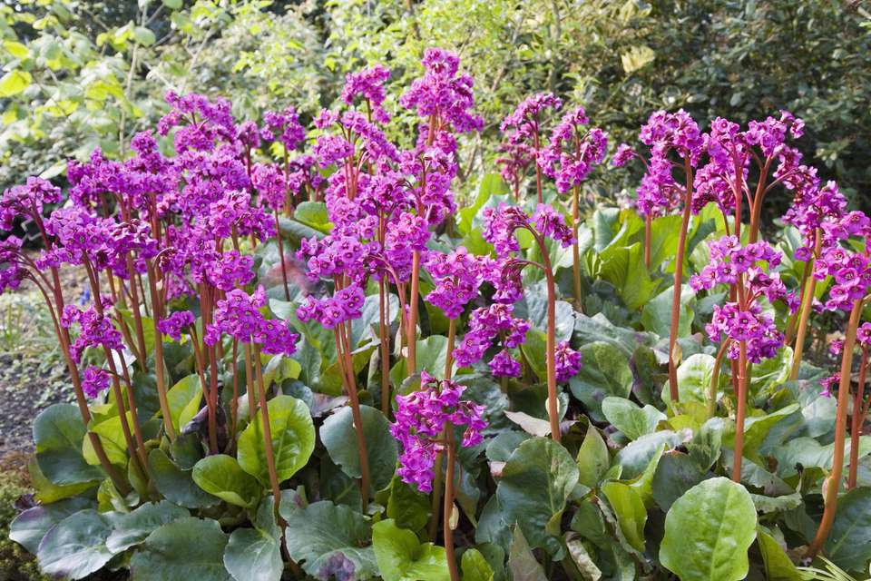 Bergenia plants blooming.
