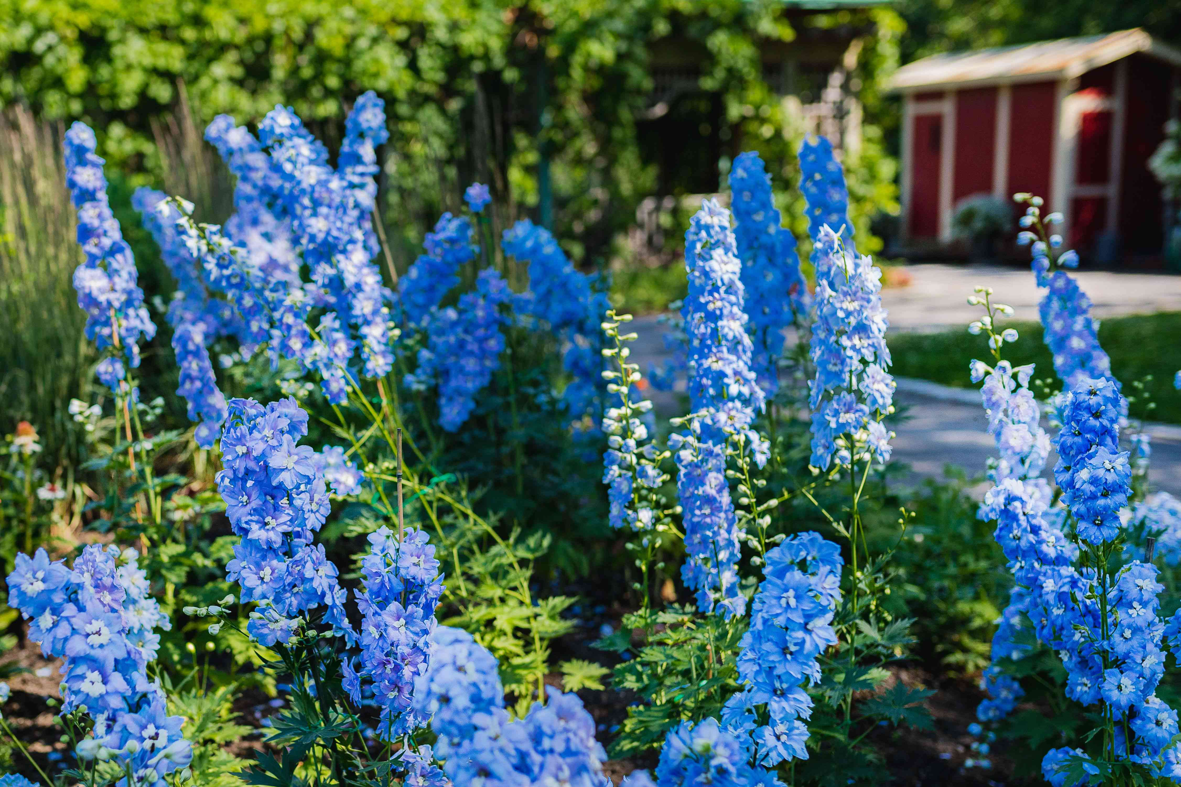 Delphinium plant with bright blue columnar spikes clustered with small blue flowers in garden