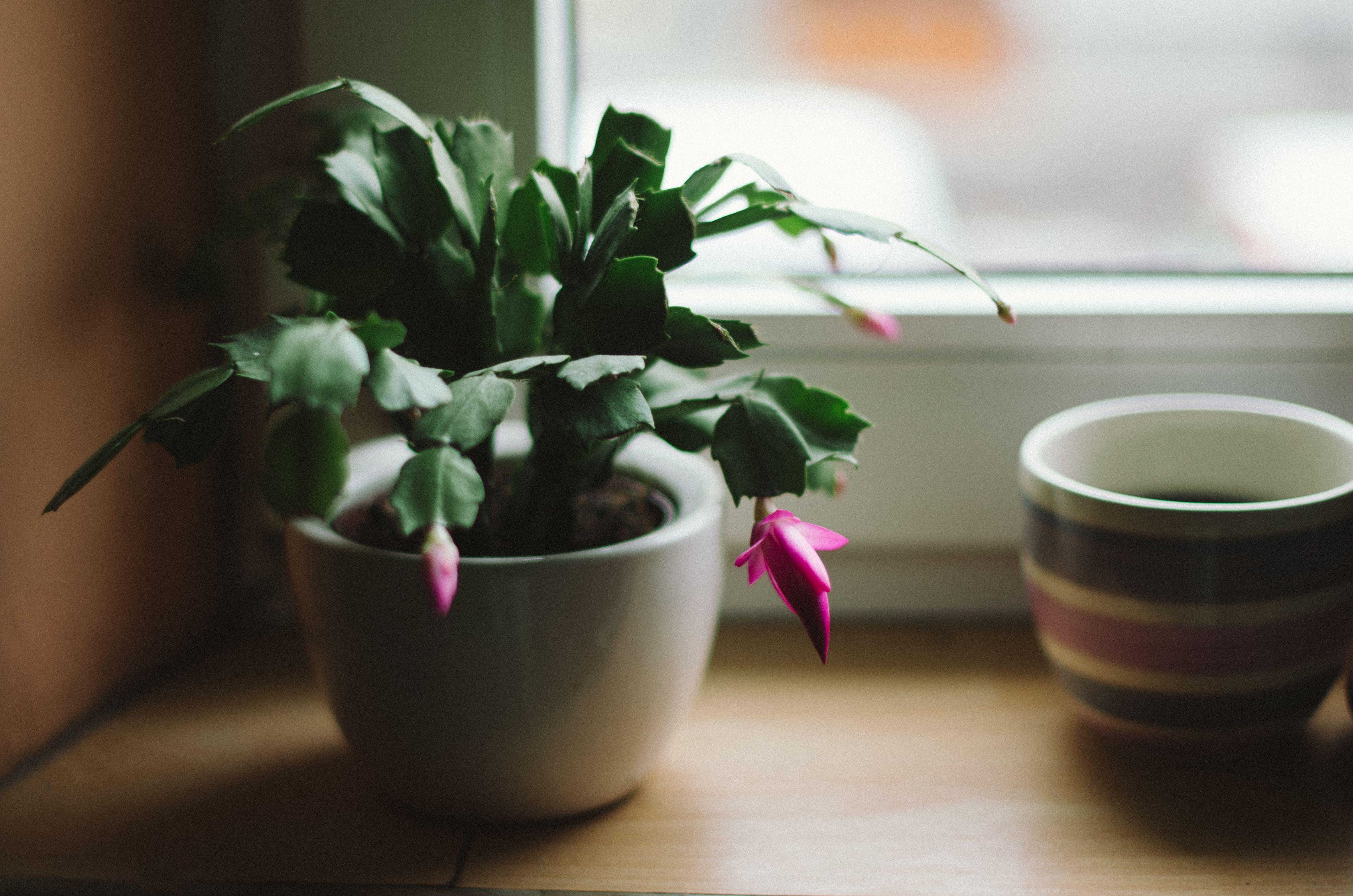 Christmas Cactus (Schlumbergera x buckleyi). Schlumbergera plant in pot