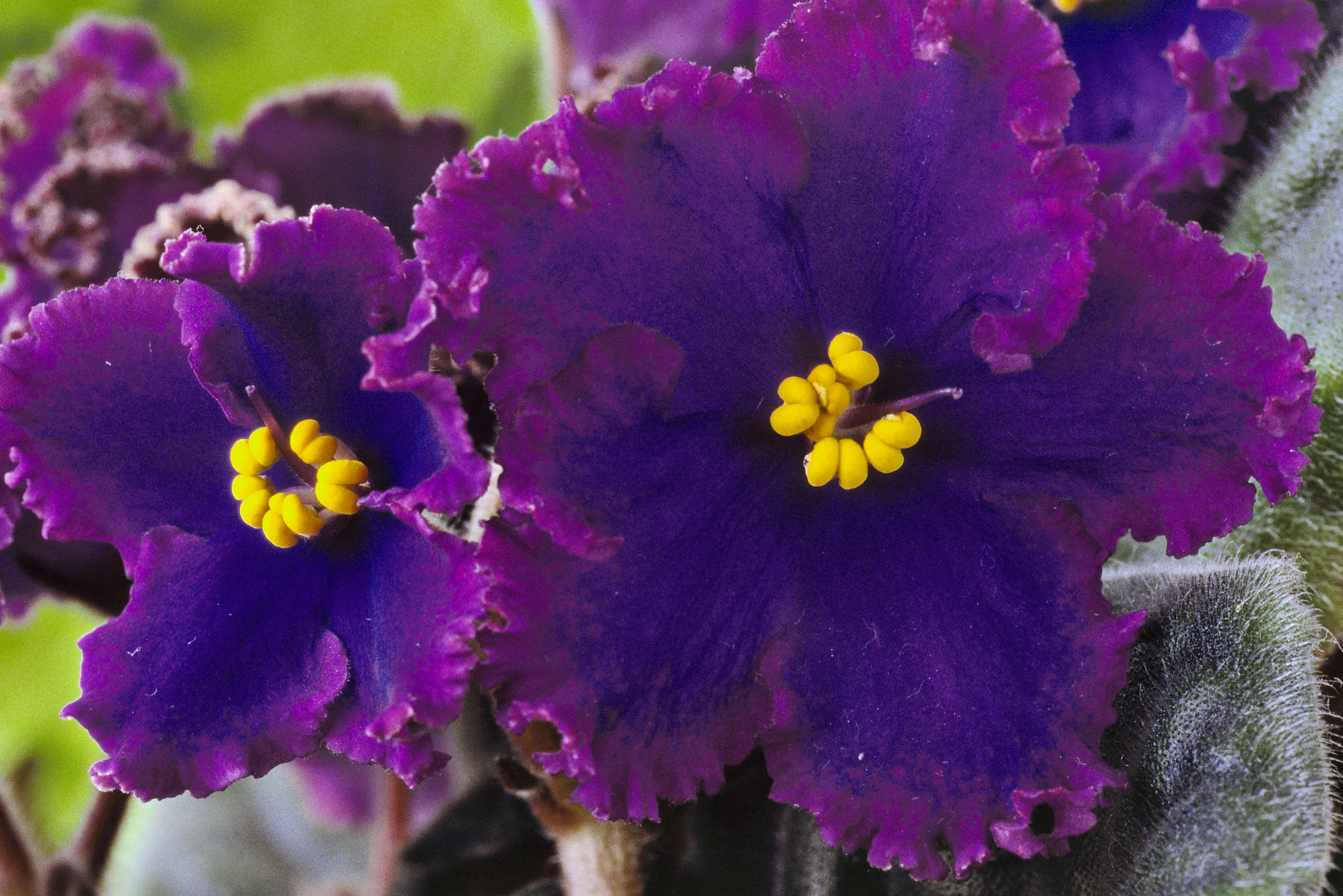 Violeta africana (Saintpaulia 'Llama de medianoche'), Primer plano de flores azules con bordes de curley