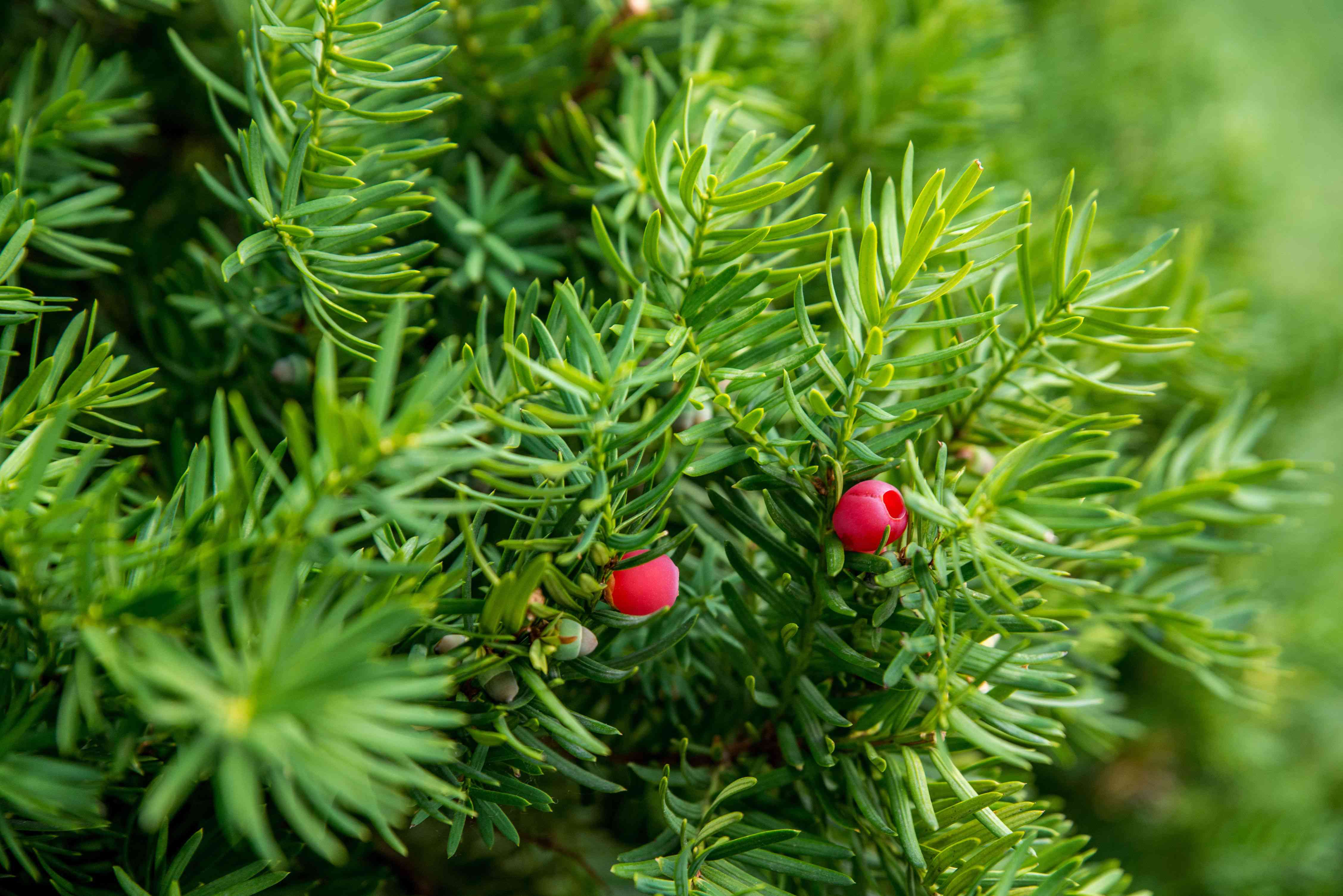 Yew bush branches with small evergreen needle-bearing leaves and small red berries closeup