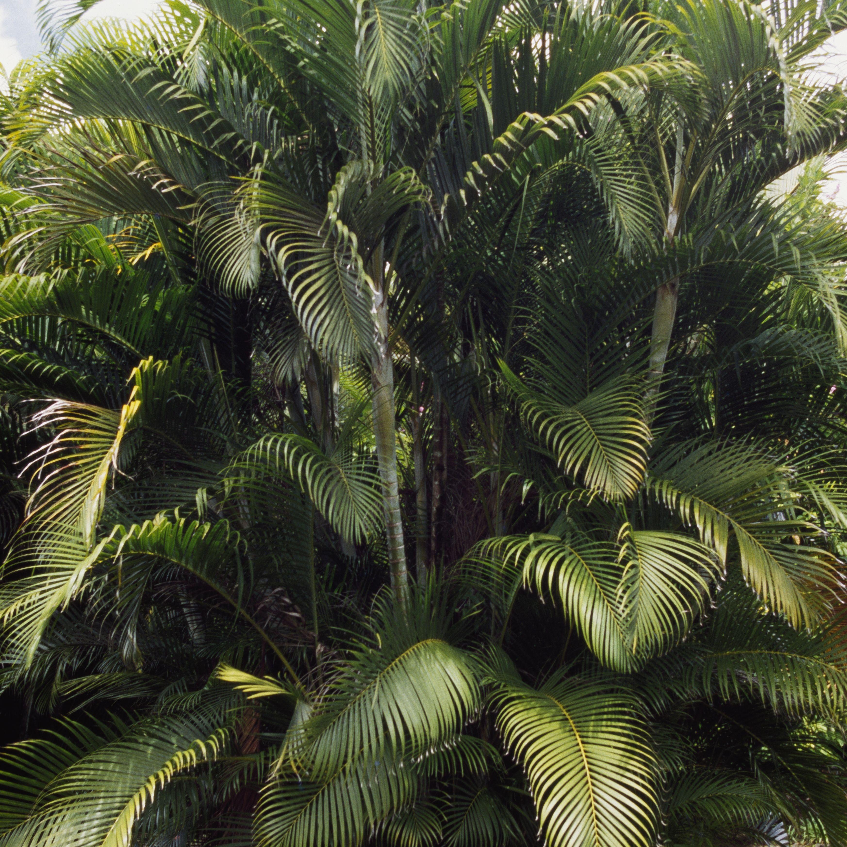 buttefly palm