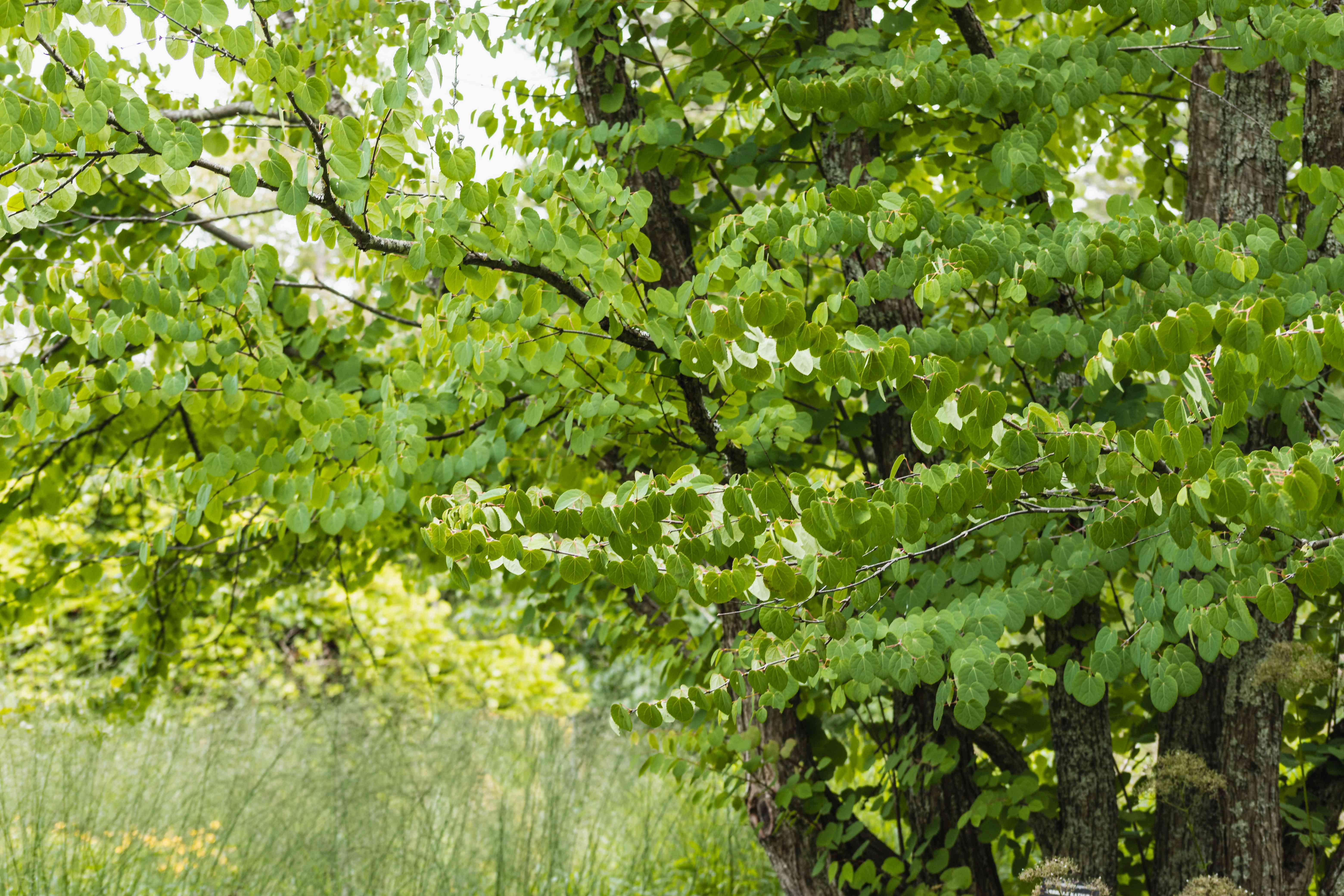 Katsura tree with multi-stem branches full of green leaves