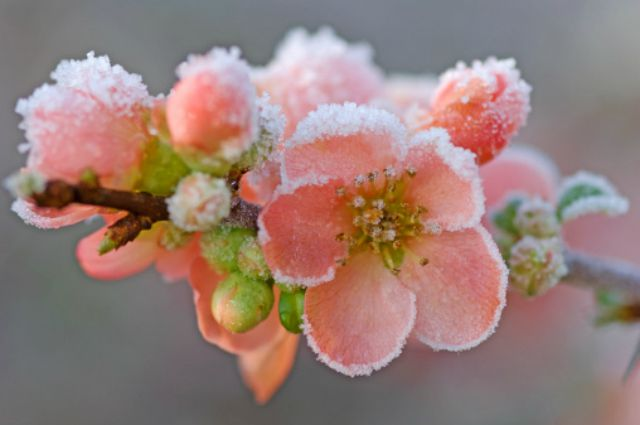 Frosted flowers of ornamental quince (Chaenomeles x superba), February