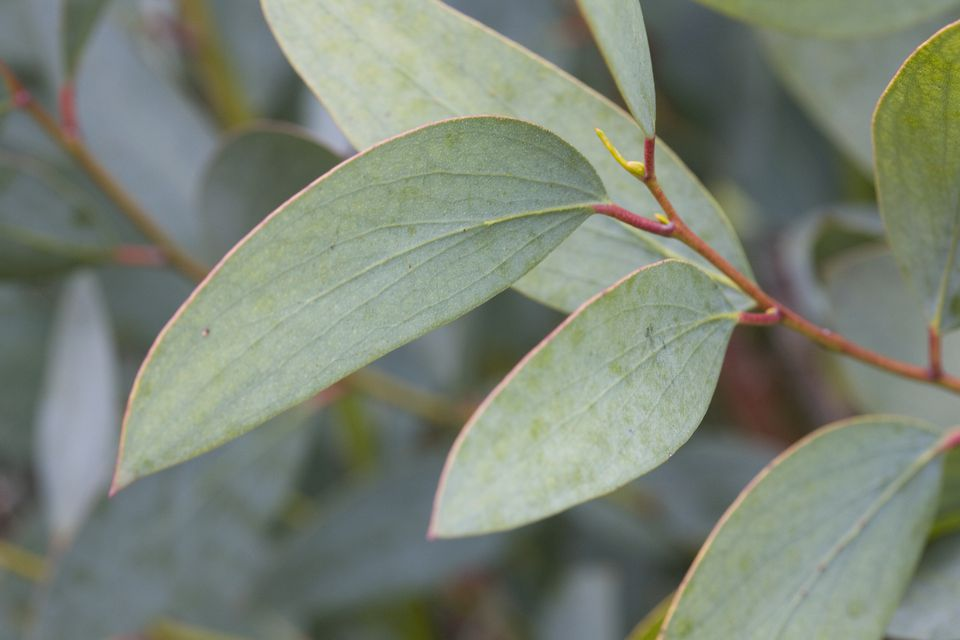 How To Grow And Use The Eucalyptus Plant