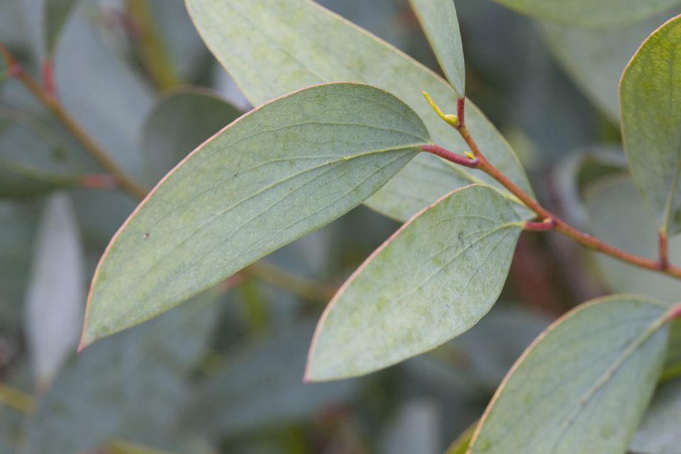 Eucalyptus (Eucalyptus globulus) leaves