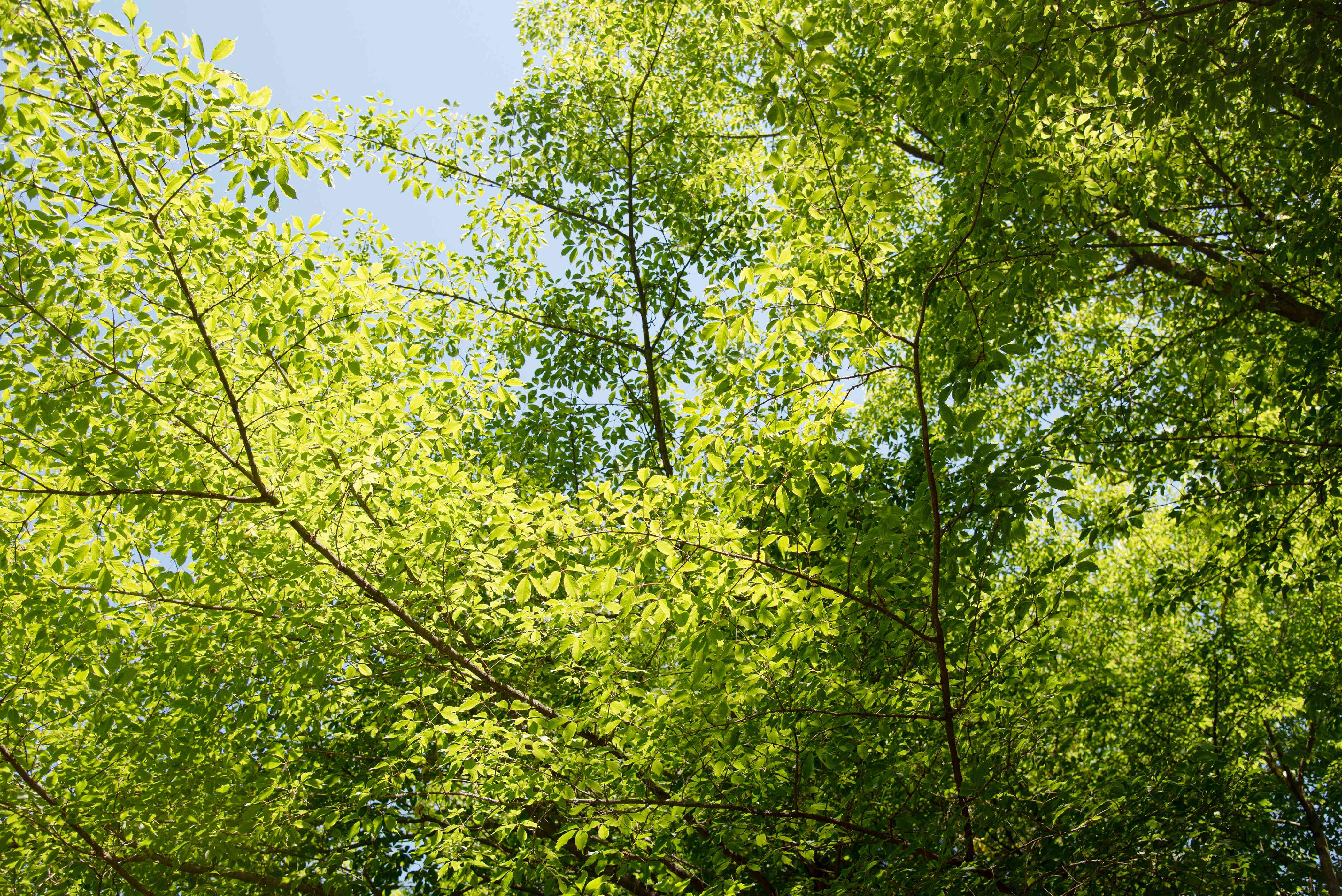 Vine leaf maple tree branches with bright green trifoliate leaves in sunlight