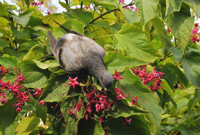 Pigion snacking on berries of hot pink flowers on large leafed shrub