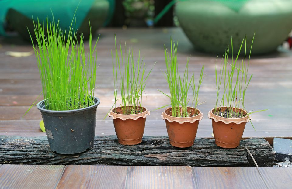 Young rice plants in pots