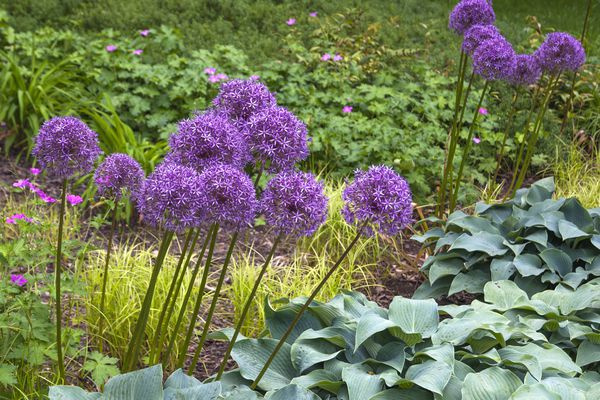 Giant onion plants with tall thin stems and circular heads of small purple flowers