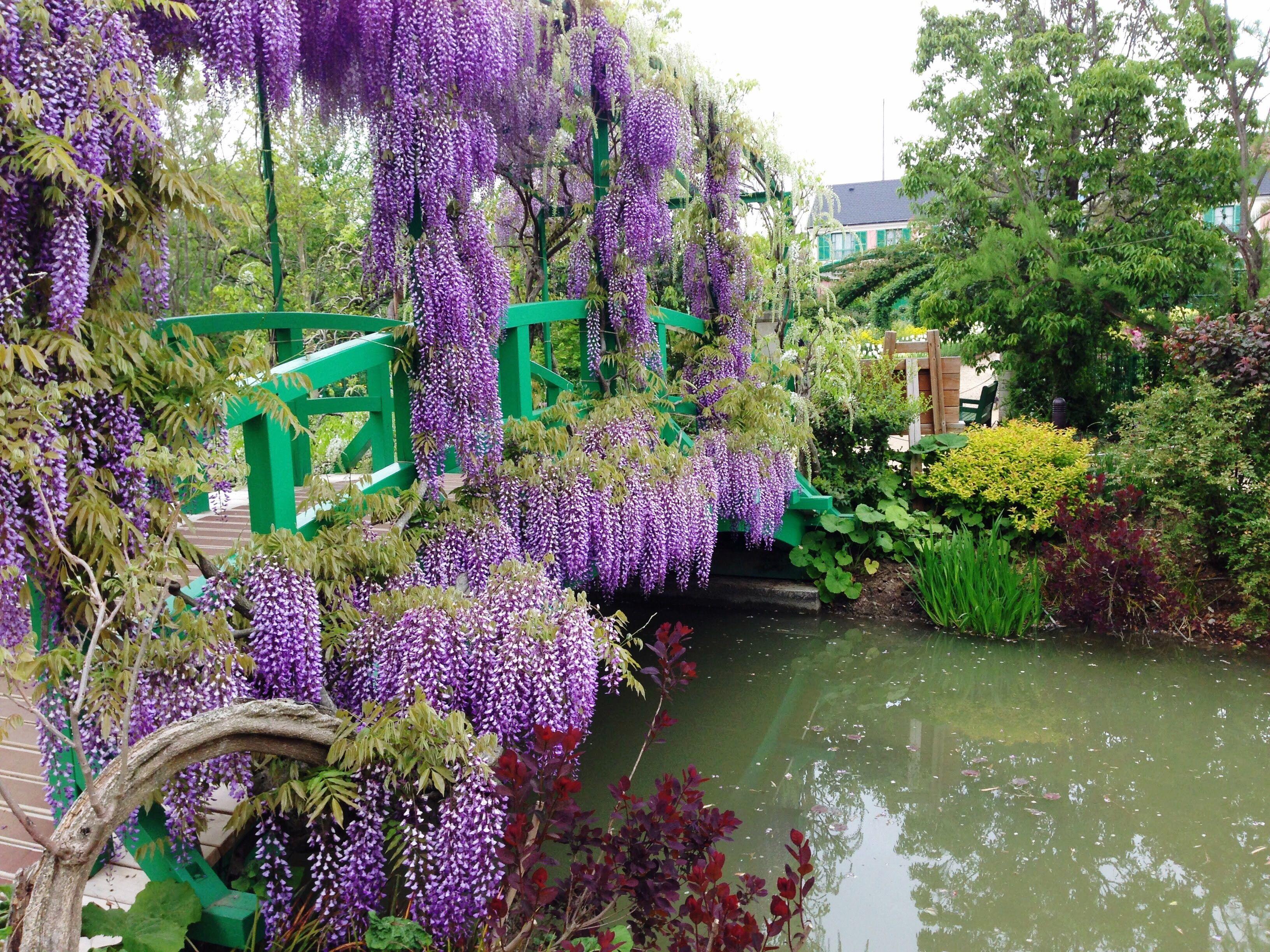 flores de glicina en el puente del parque