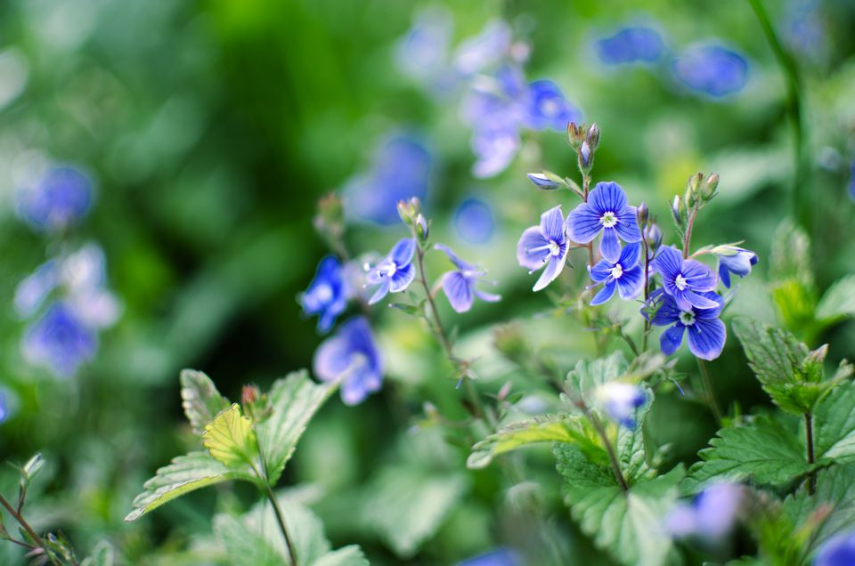Little spring blue Veronica flowers bloom outdoors