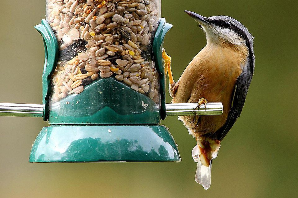 Eurasian nuthatch on a feeder