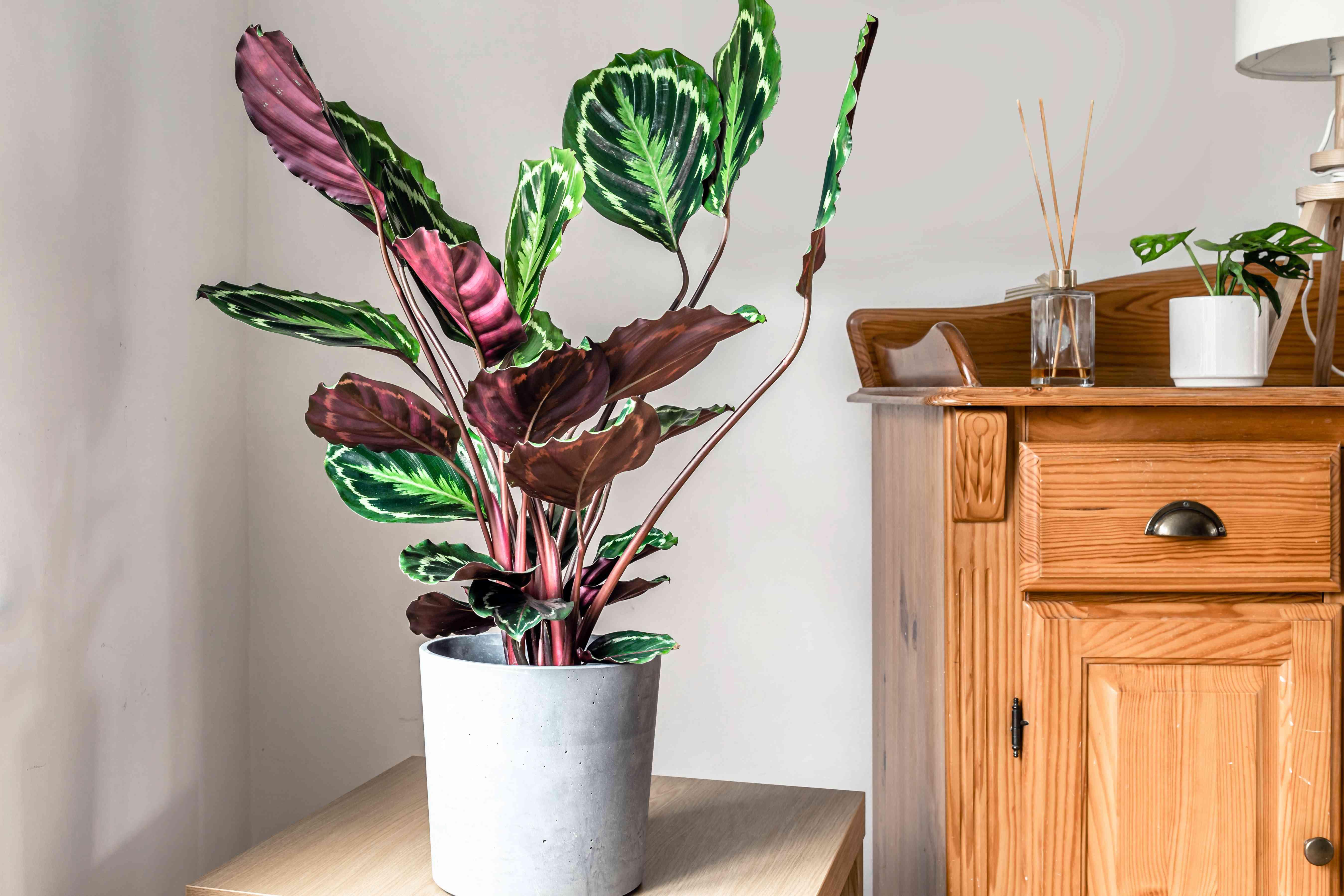 potted prayer plant