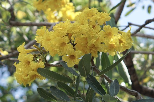 Yellow bell plants with bright yellow trumpet-shaped flowers clustered on branch