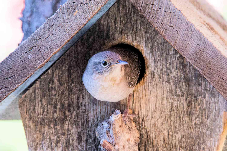 House Wren at a Birdhouse