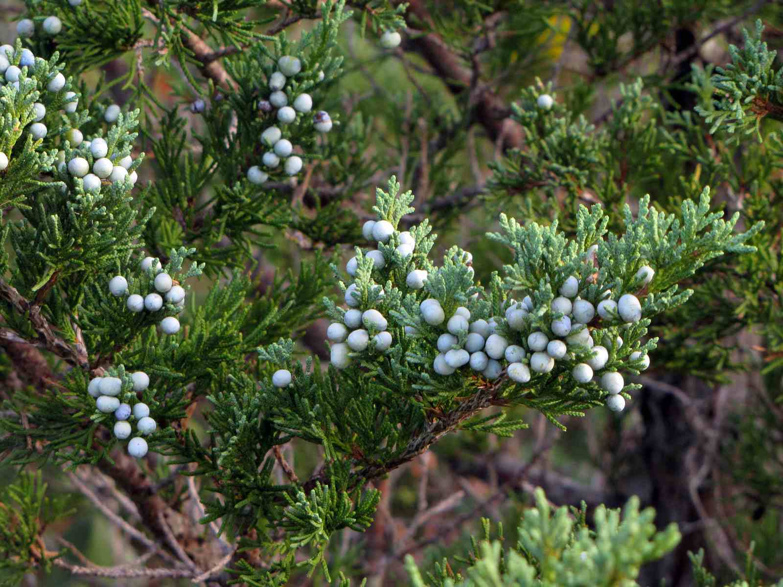 american juniper