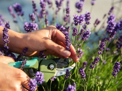 person pruning a lavender plant