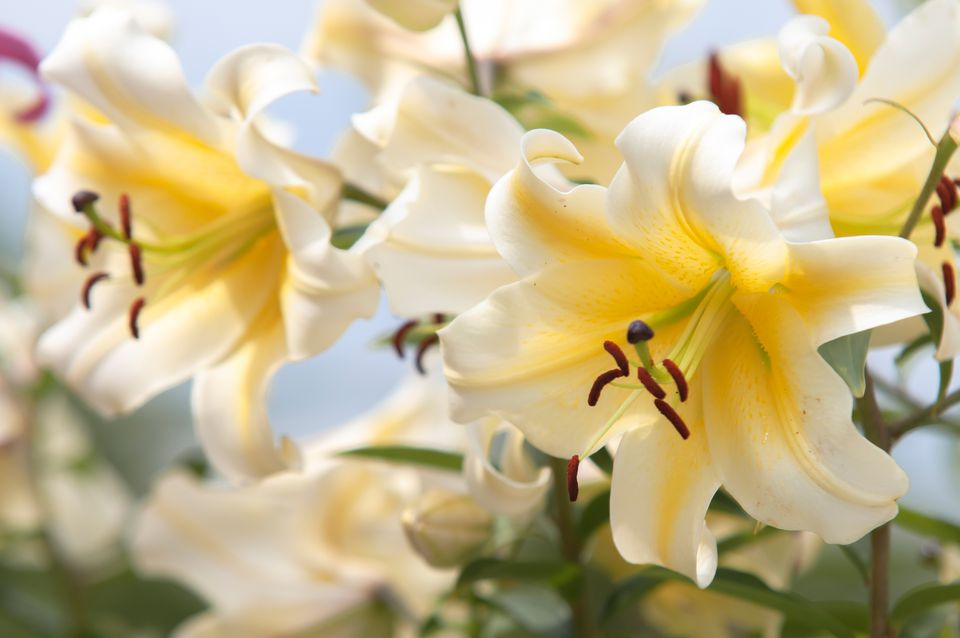 Oriental trumpet lilies 'Conca d'Or' with white flowers and yellow centers closeup
