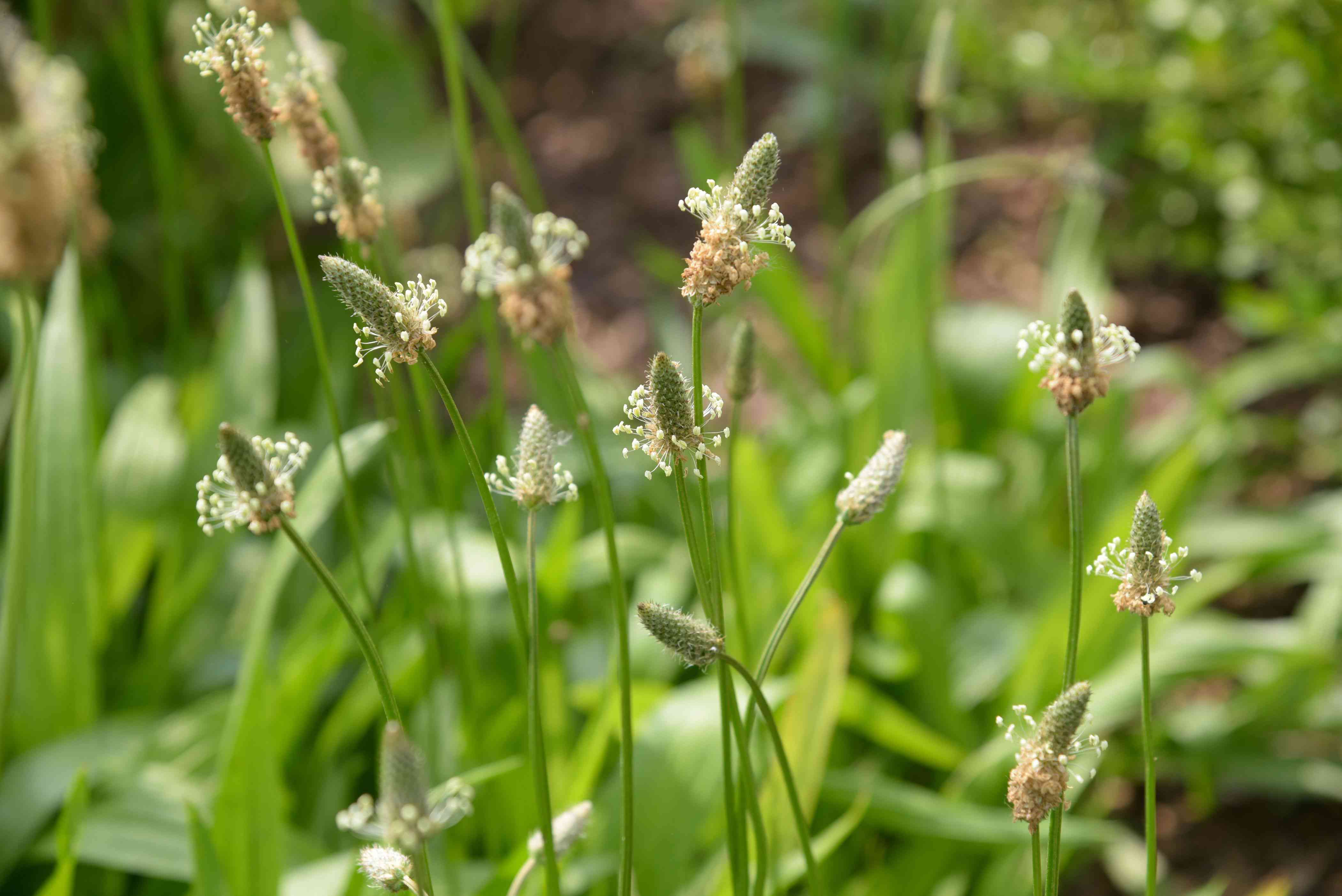 Plantain weed plants with small green cone-shaped flower heads on thin stems