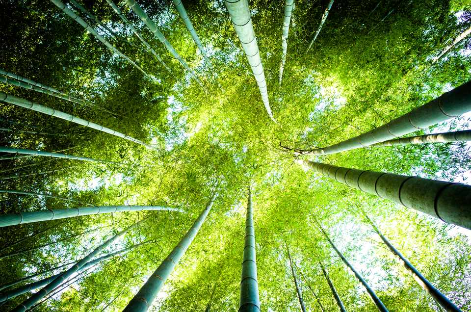 Looking up through a grove of tall bamboo plants.