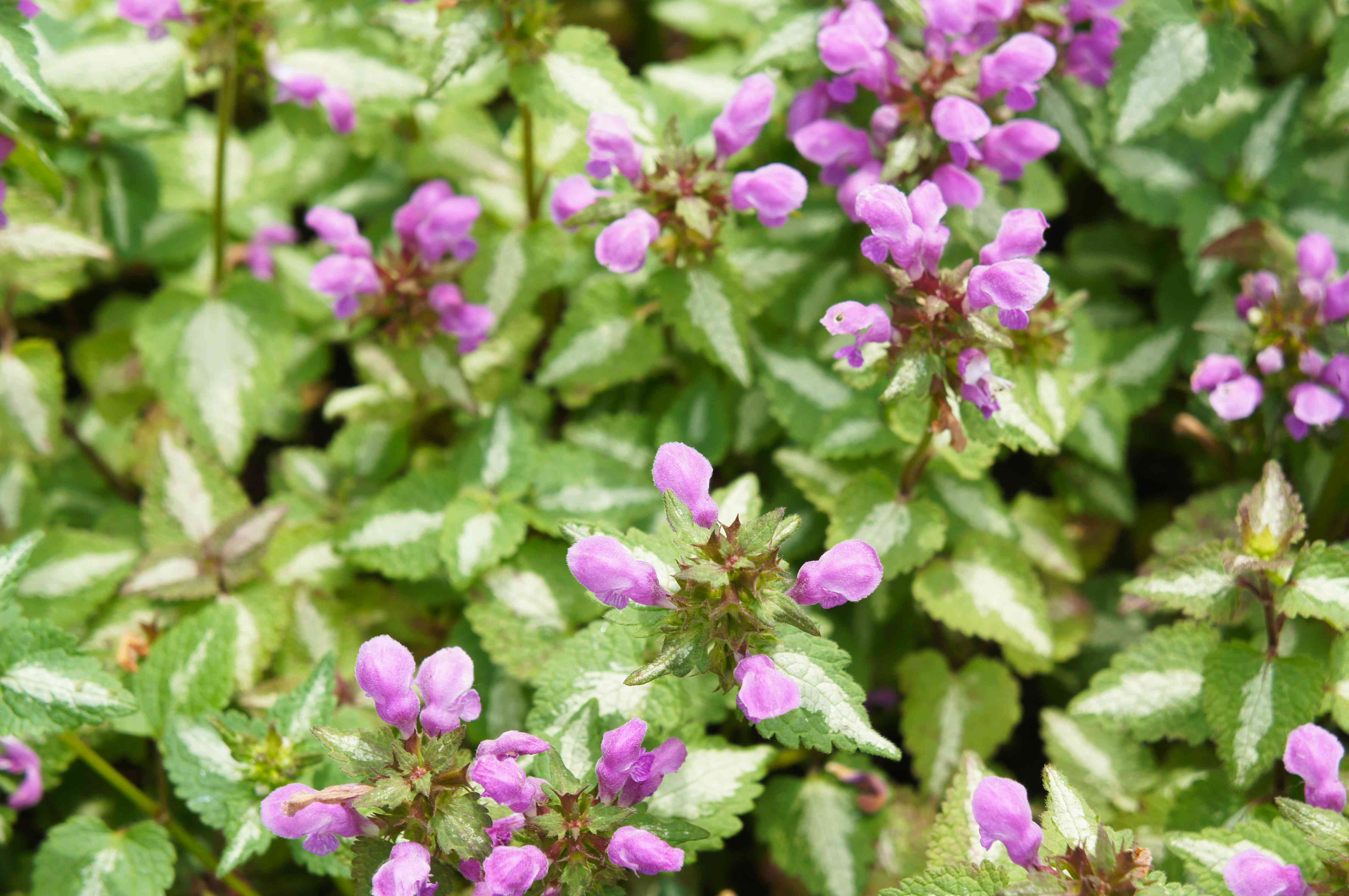 Spotted dead-nettle or pink pewter lamium maculatum green plant with pink flowers