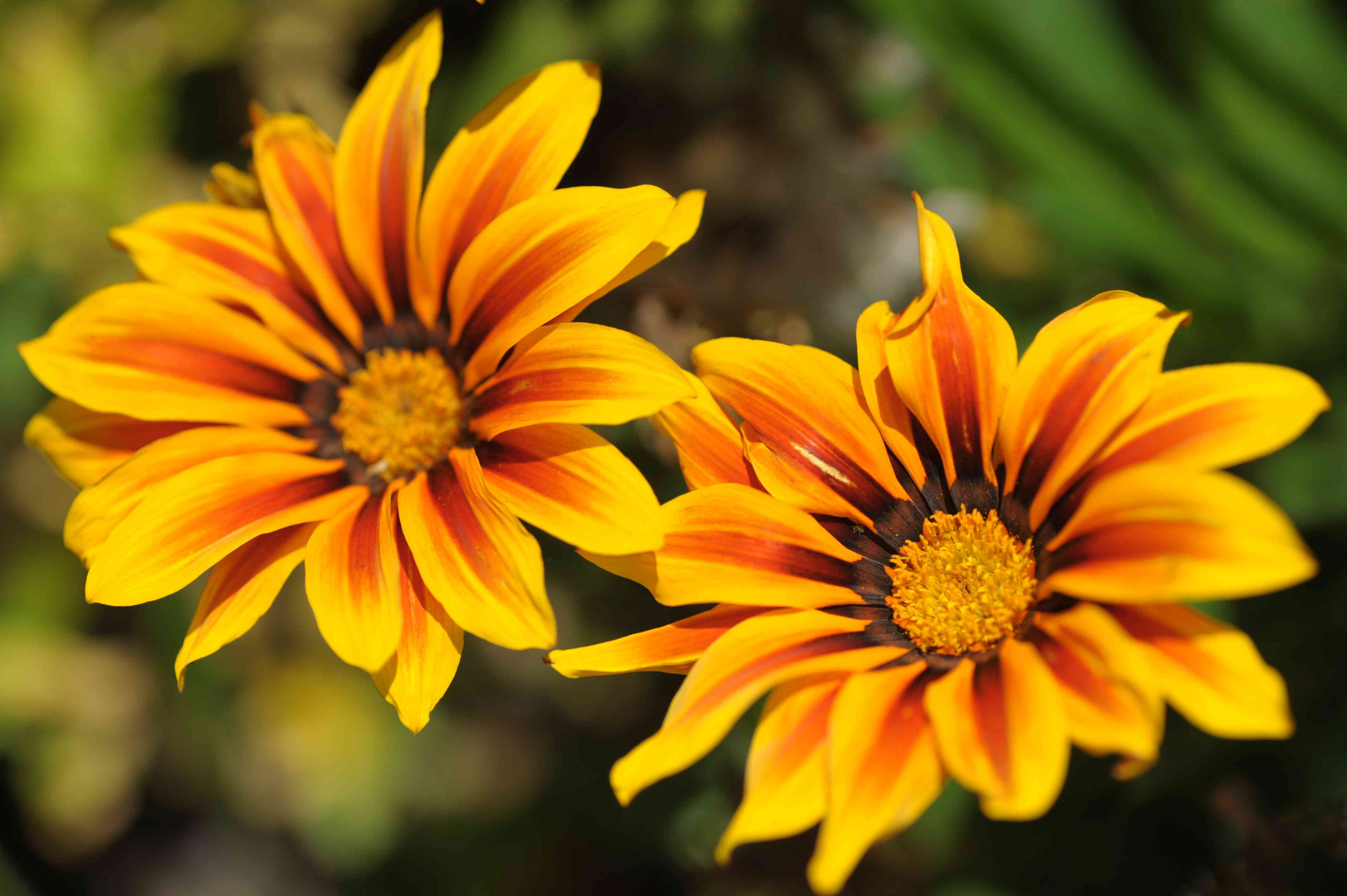 closeup of gazania flowers