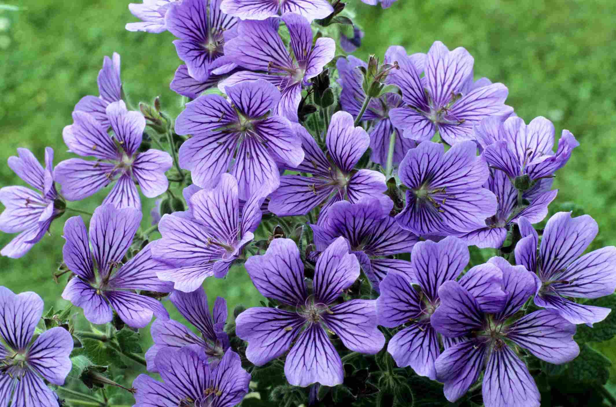 'Stephanie' geraniums with purple flowers
