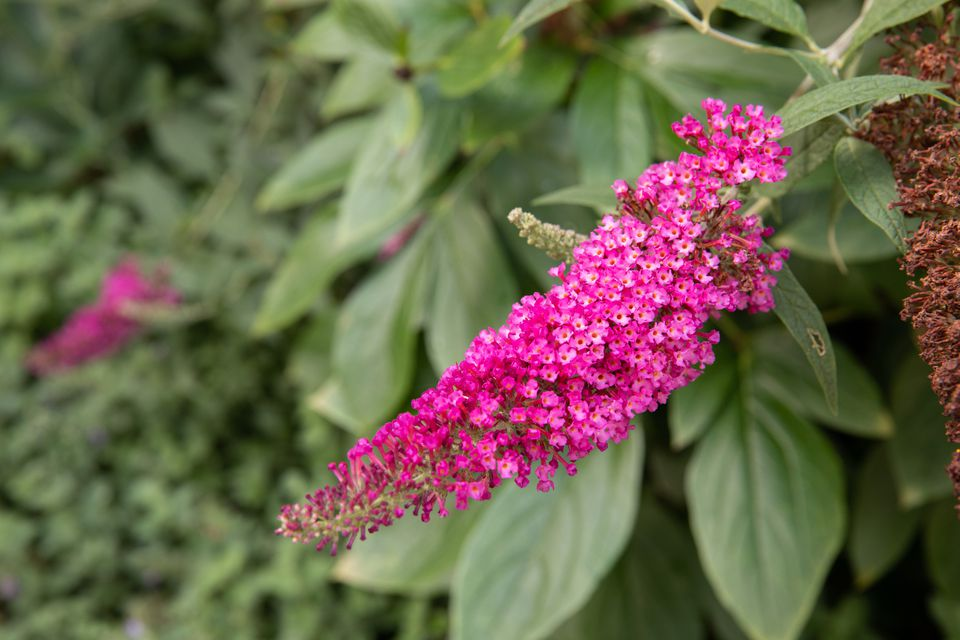 butterfly bush for attracting hummingbirds