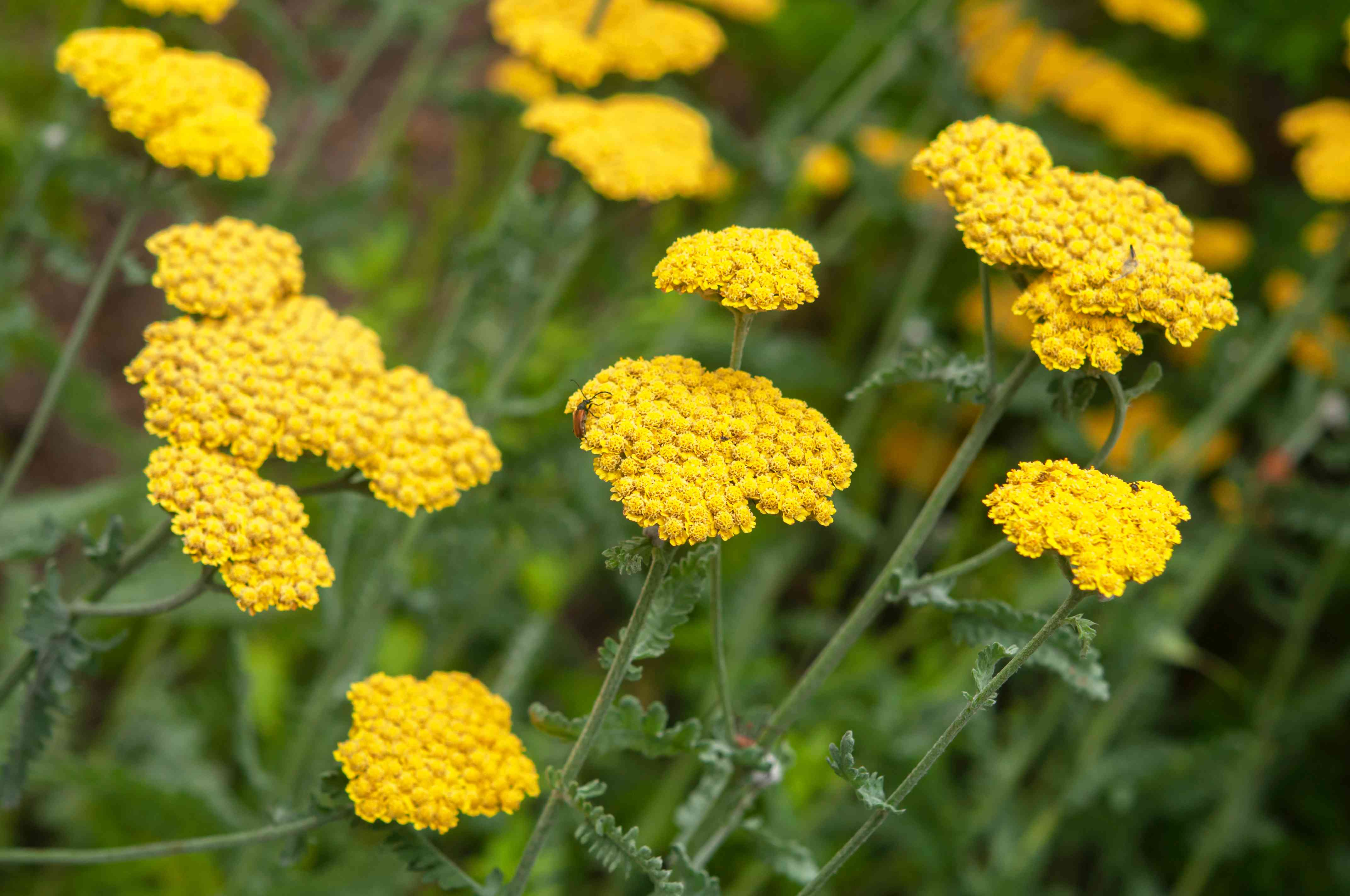 Achillea yarrow with yellow flowers in garden