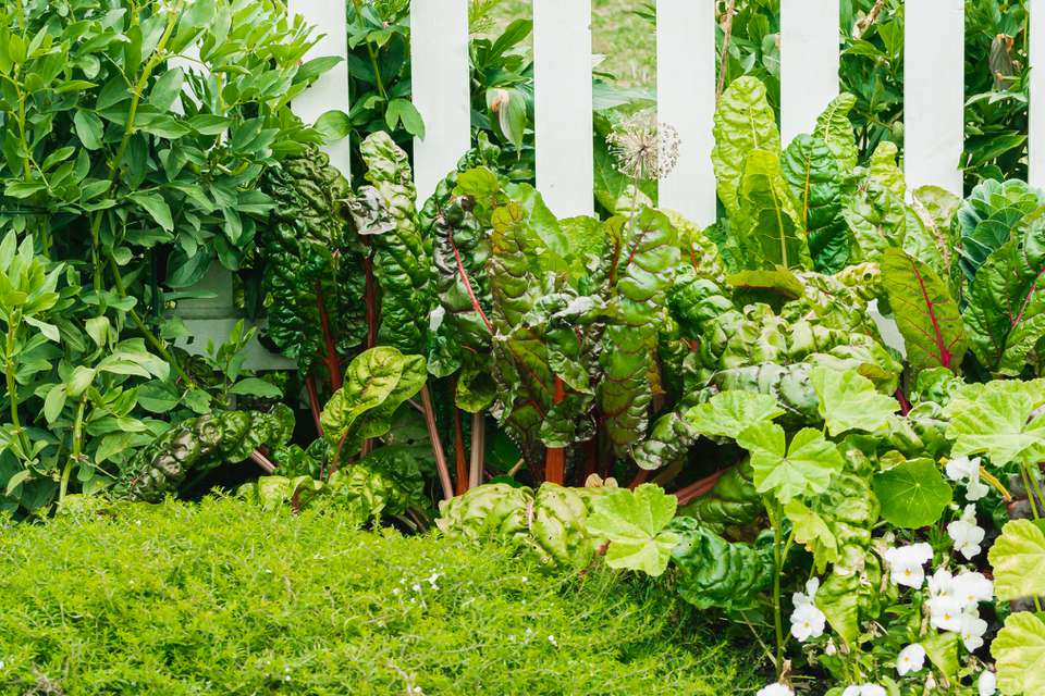 Vegetables planted near white fence and other garden plants