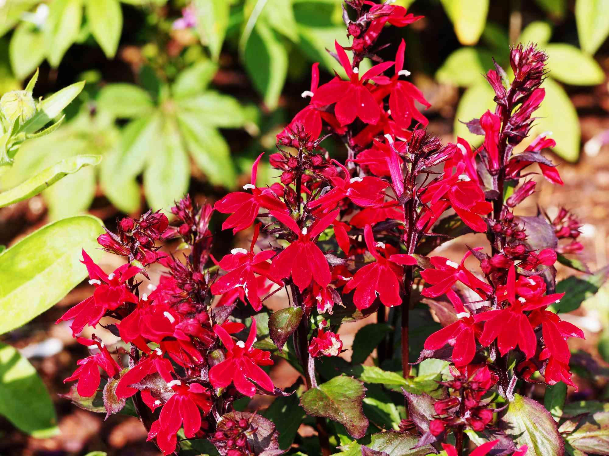 Cardinal flower in bloom