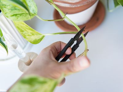 person taking a cutting from a plant