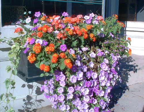 Picture of window box with purple and orange flowers.