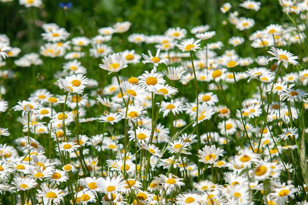Shasta daisy with white perennial flowers in garden