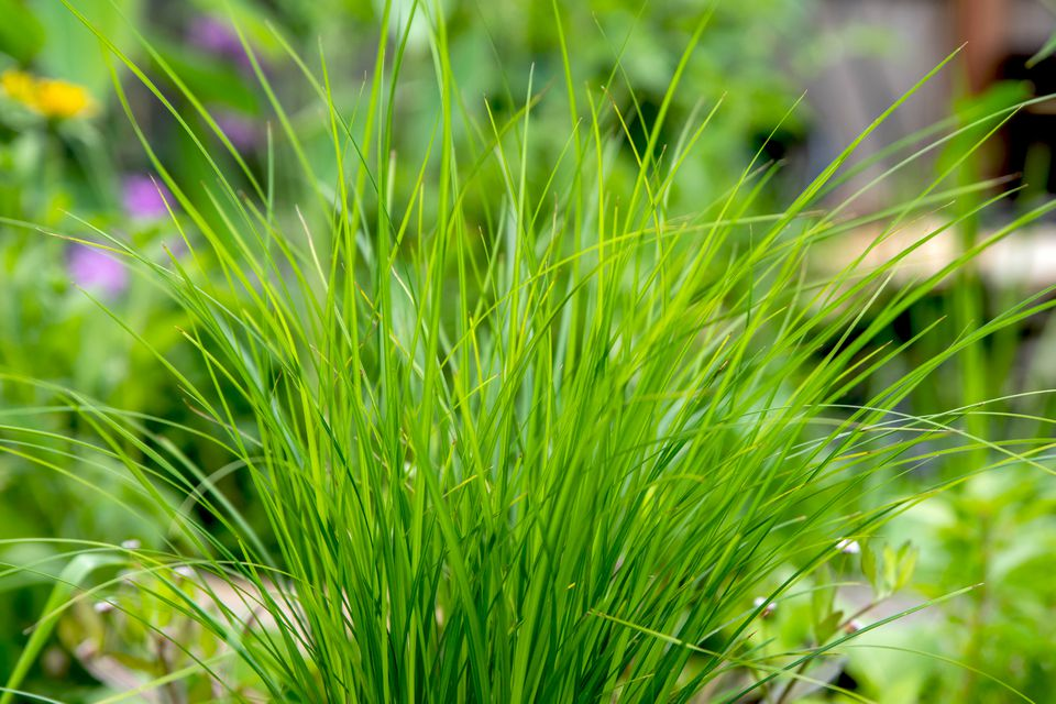 Tussock sedge with thin grass-like leaves clumped together