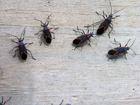 Insects Box Elder Bugs